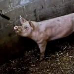 Os Matadores de Porcos