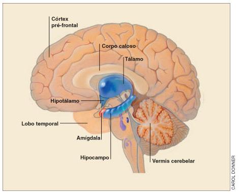 O córtex pré-frontal e o sistema límbico.