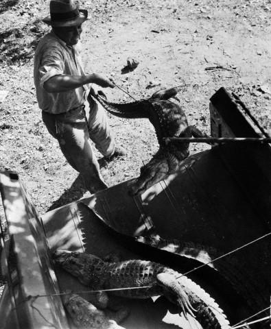 Legenda original: Investigador coloca jacarés em uma camionete durante investigação de assassinato. Dono de bar de estrada, Joe Ball, alimentou seus jacarés com humanos antes de suicidar em 1938. Data: 5 de Outubro de 1938. San Antonio, Texas. Foto: © Bettmann/CORBIS.