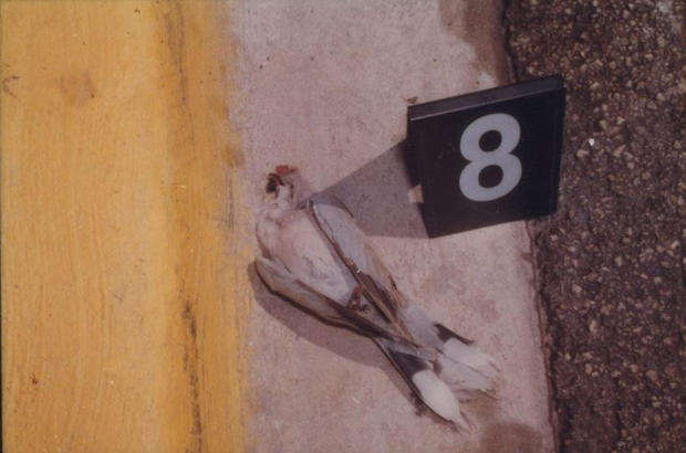 Versace não foi o único ser vivo a ser morto por Cunanan. Na imagem, o pombo atingido pela mesma bala que matou o estilista italiano. Foto: Miami Beach Police Department.